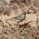Pretty Pipit by dilouise