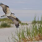 Osprey In Flight Over The Beach by Kathy Baccari