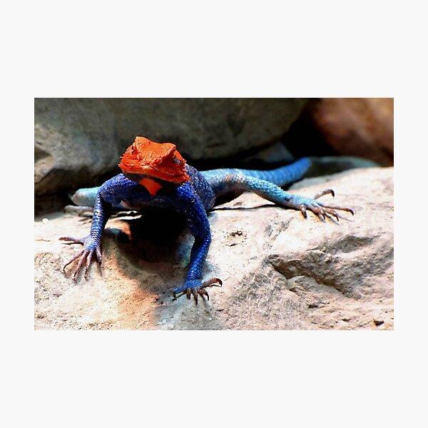 Rainbow Agama Photographic Print
