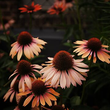 Echinacea Flowers - High Line Park - New York City de vgucwaphoto