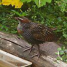 Buff Banded Rail (Gallirallus philippensis) by Odille Esmonde-Morgan