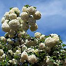 Snowball Tree (Viburnum opulus) by Bev Pascoe