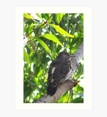 Male Red-shafted Flicker Art Print