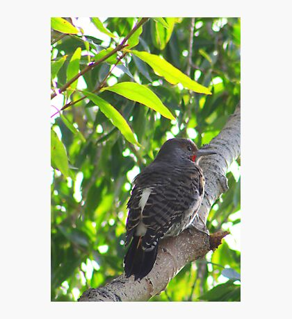 Male Red-shafted Flicker Photographic Print