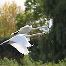 Mute Swans In Flight by NewfieKeith