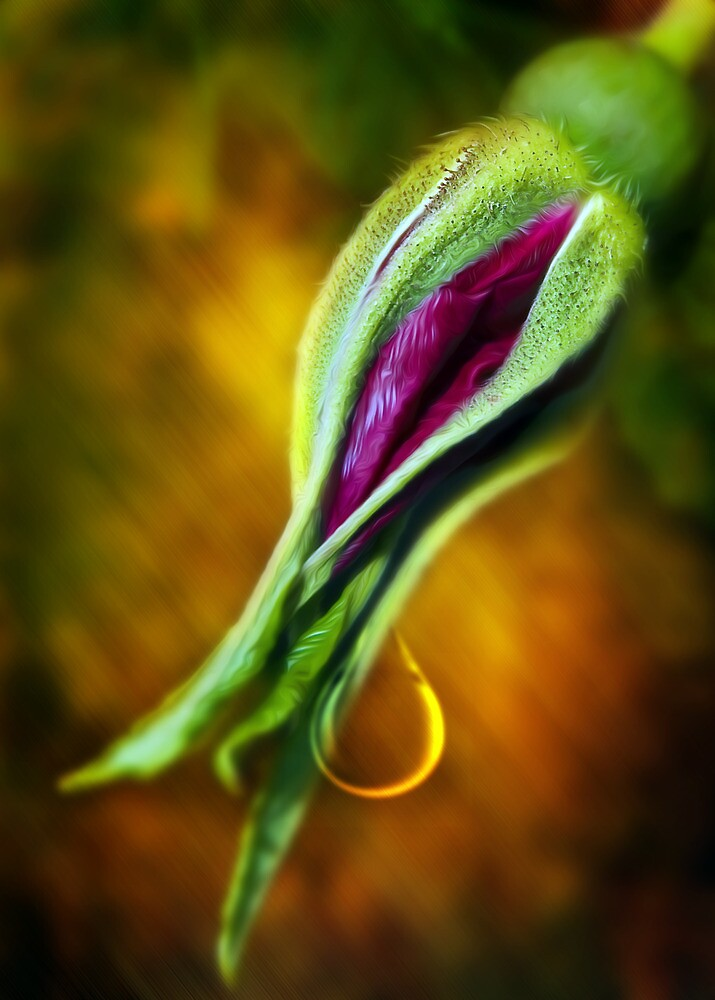 Rose Bud Tear by Svetlana Sewell