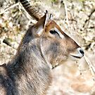Male Waterbuck Close Up by Michael  Moss