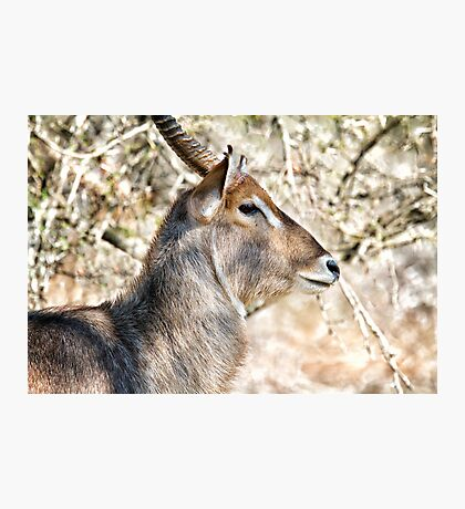 Male Waterbuck Close Up Photographic Print