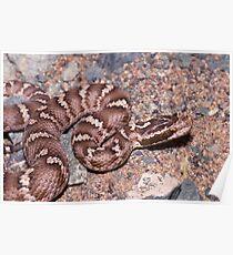 Siberian Pit Viper, Gloydius halys, Mongolia Poster
