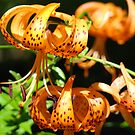 Orange Tiger Lily Flowers art prints Lilies Garden by BasleeArtPrints