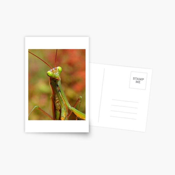 Praying Mantis Postcard