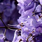 Jacaranda after the rain by Nicki Baker