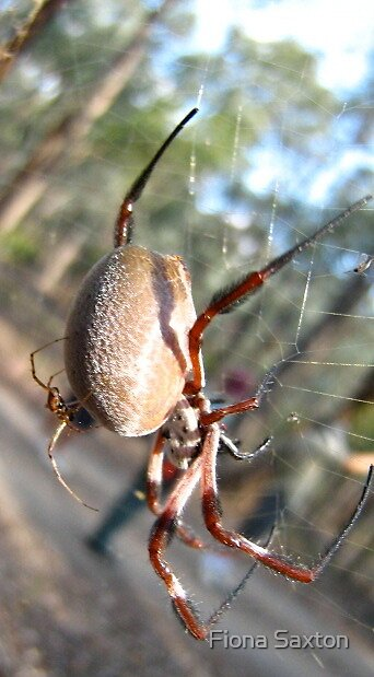 Golden Orbweaving Spider, Nephila Edulis to be precise! by Fiona Saxton