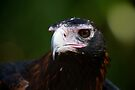 Wedge-Tailed Eagle by Jason Asher