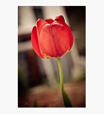 Faded Tulip Photographic Print