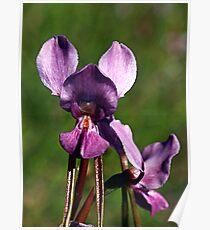 Purple Diuris (Diuris punctata) Poster