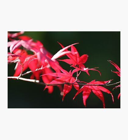 flames of fall Japanese Garden  Photographic Print