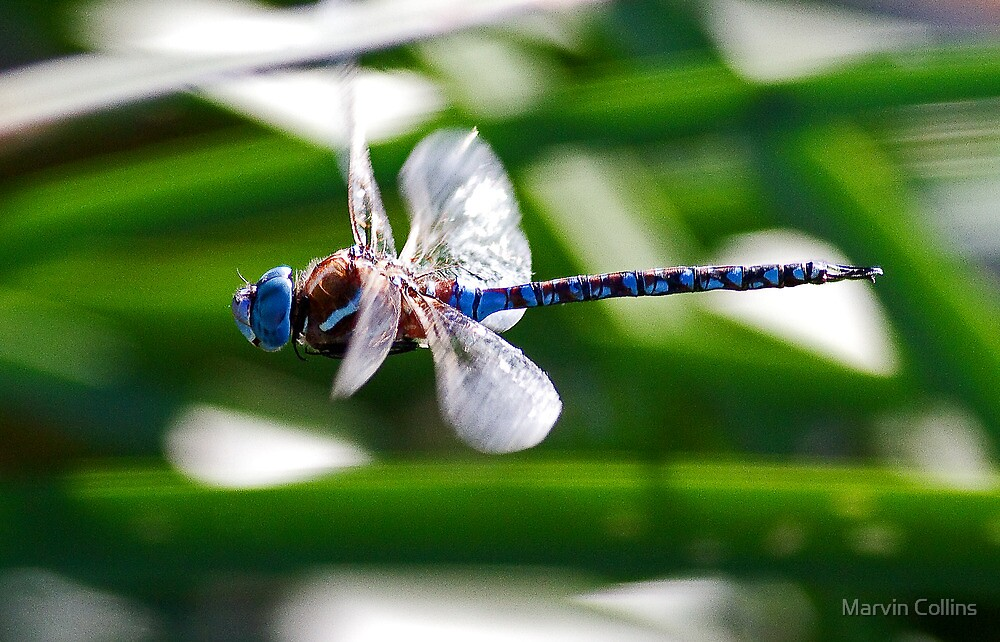 101711 Dragonfly  by Marvin Collins