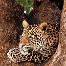 Leopard, Mashatu, Botswana by Sharon Bishop