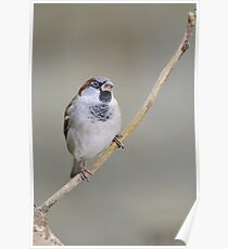 Sparrow, County Kilkenny, Ireland Poster