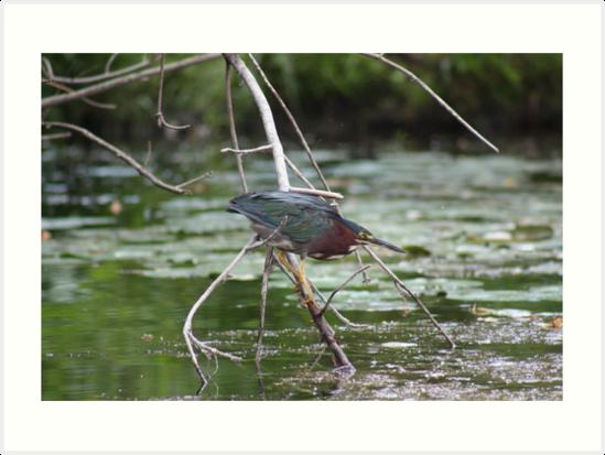 Green Heron by Thomas Murphy