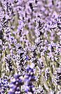 Field of Lavender iPhone Case by Denise Abé