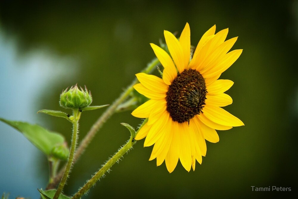 Shy Sunflower by Tammi Peters