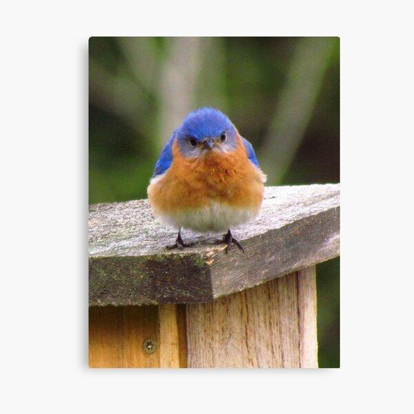 Grumpy Bluebird, Original photograph Canvas Print