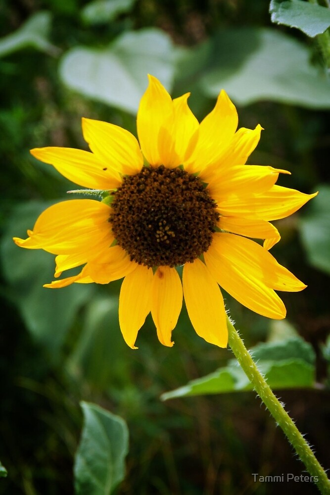 Full Bloom Sunflower by Tammi Peters