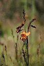 Dunsborough Donkey Orchid by Leonie Mac Lean