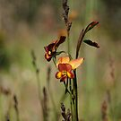 Dunsborough Donkey Orchid by Leonie Mac Lean
