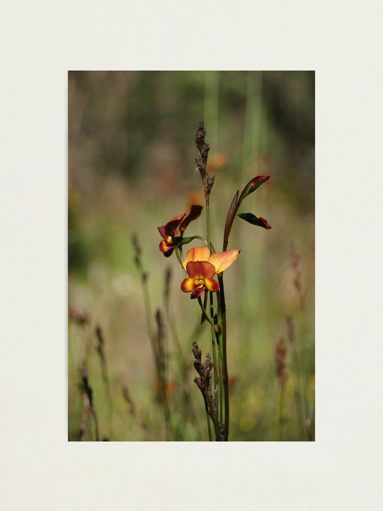 Alternate view of Dunsborough Donkey Orchid Photographic Print