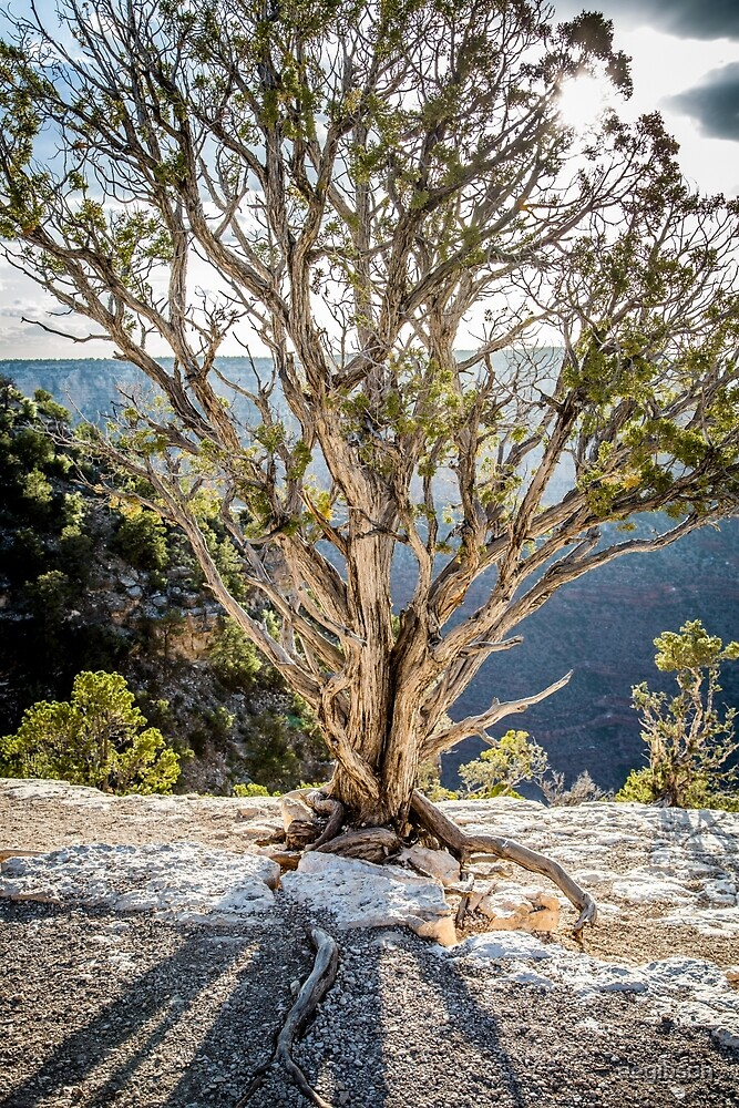 Juniper Pine - Grand Canyon by eegibson