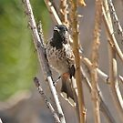 Red Vented Bulbul by dilouise