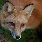 Red Fox by Benjamin Brauer
