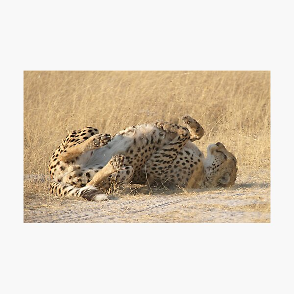 Lie back and think of cheetahs Photographic Print