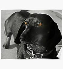 Grace the Dachshund Poster