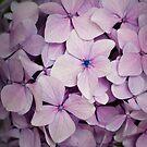Hydrangea  by Jim Lovell