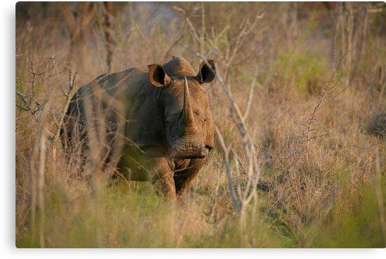 White Rhino by naturalnomad