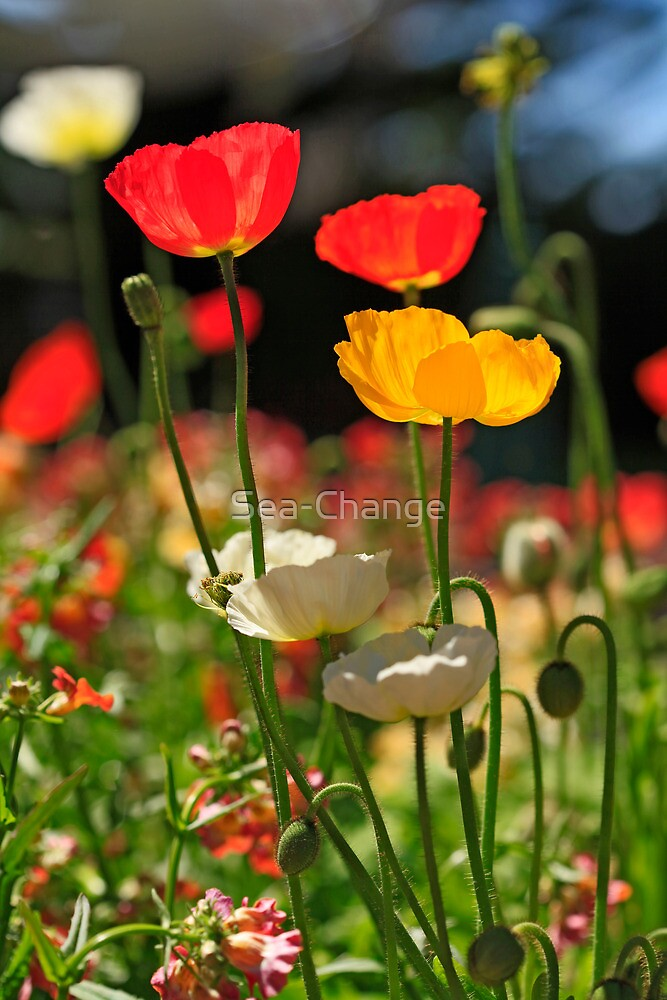 Poppies in the Sun by Sea-Change