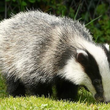 Badger Cub by TheClarkes