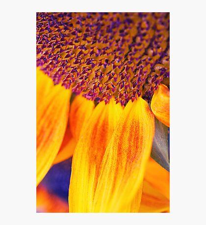 Sunflower III Photographic Print