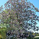 Paulownia Tree - Warragul by Bev Pascoe