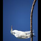 Great Egret by D R Moore