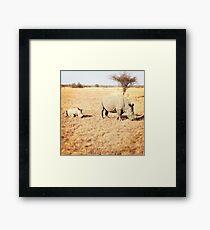White Rinos Framed Print