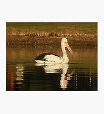 Pelican Reflected Photographic Print