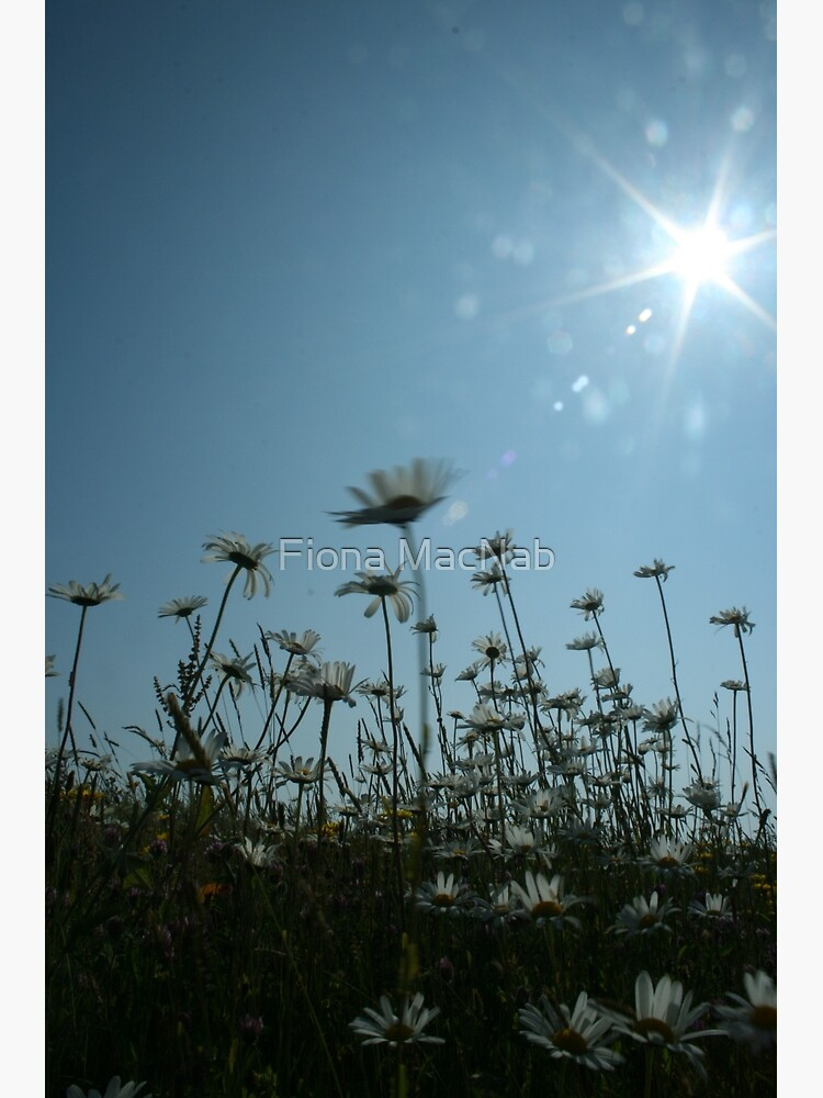 Daisies by orcadia