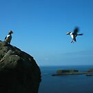 Puffin landing by Fiona MacNab