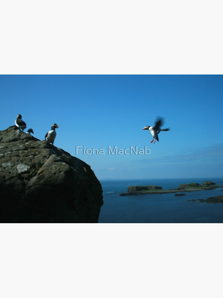 Puffin landing by orcadia