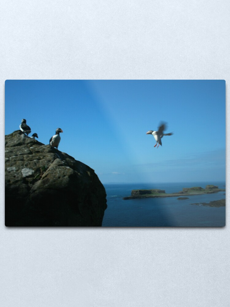Alternate view of Puffin landing Metal Print